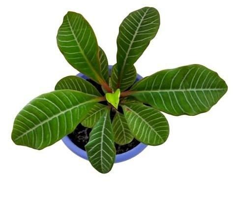 Комнатные растения, Абутилон гибридный.