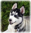 Картинки и фото сибирского хаски (щенки и взрослые собаки)