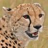 Layri Gepard