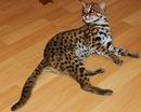 бенгальская кошка фото - фотография 8.