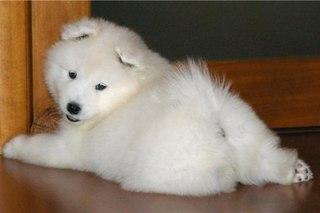 Фотография 6 - Самоедская собака (Самоед) щенки., Документы РКФ.
