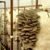 Выращивание грибов в домашних условиях: выращивание вешенки в домашних условиях, технология выращивания, бизнес план