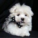Фотографии щенки Мальтезе(Мальтийская болонка) и Болонез(французская...