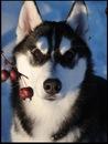 Сибирский хаски фото, фото собак породы хаски, фотографии хаски и щенков...