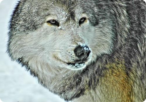 Волк наносит вред животноводству и охотничьему хозяйству, но с другой стороны, играет важную роль в экосистеме...