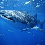 Китовая акула.  Рыболовные новости.