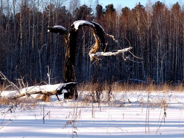 Интересное место. Поляна, далее берёзы, затем кедры. На поляне нет поросли деревьев, будто бы кто-то сделал строгую границу. Если дерево и вырастает на поляне, то его уничтожает молния.