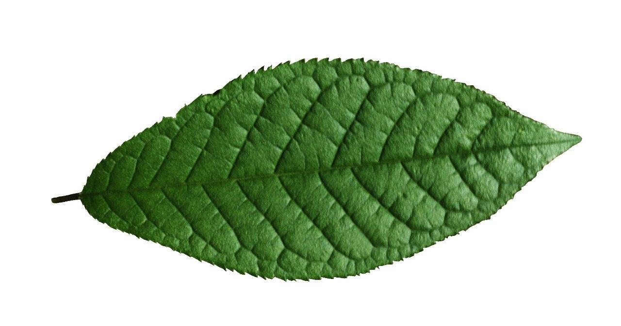 Форма листя дерев фото 4 фотография