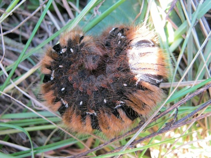 Мохнатые гусеницы на Кавказе
