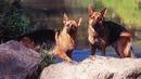 овчарка в квартире: щенки немецкой овчарки питомник, овчарка 2 месяца.