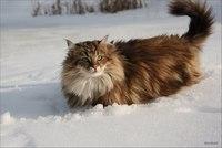 Кошки-овечки классные.  Вот еще милые звери.  Норвежские лесные кошки.
