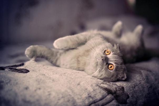 """Save picture as. кот. глаза. британский вислоухий."