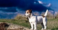 Jack Russell, Минск, id129781666