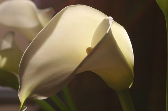 calla.  Цветы. flower.  Открытки. soft light.