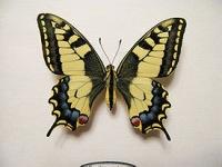 Papilio machaon) - бабочка из семейства парусников или кавалеров (лат.  Papilionidae).Размах крыльев самцов 64—81 мм...