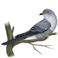 1. Кукушки принадлежат к особому виду птиц, отличному от большинства.