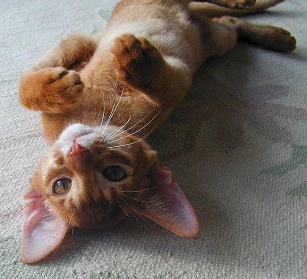 Породы кошек. admin. абиссинская кошка. абиссинская. абиссинские...