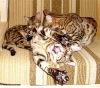 Бенгальские котята, коты и кошки - BENSUN.RU