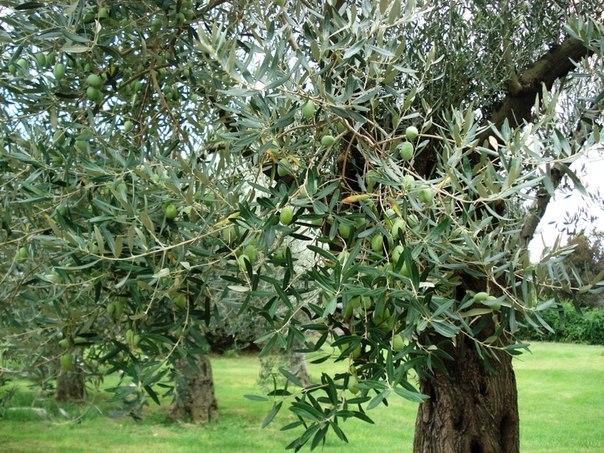 фото как растут оливки