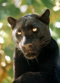 Леопард - типичный крупный представитель обширного...