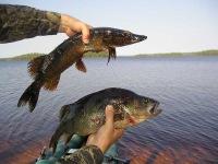 Щука и окунь. фотографии рыбалки.  Удачная рыбалка.  Сом.