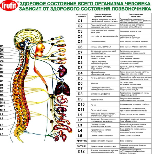 Позвоночник был создан самой природой прямым для того, чтобы защищать спинной мозг и отходящие от него нервы от...
