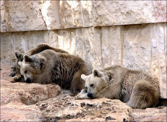 Три медведя.