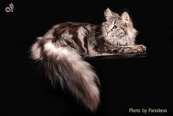Norwegische Waldkatze Größe Norwegische Waldkatze