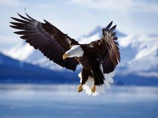 хищные птицы средней полосы россии.