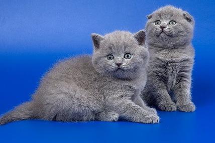 шубы из камышового кота фото. котенок гав смотреть онлайн, отдам в руки...