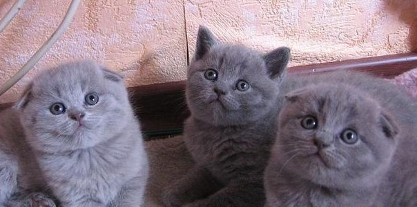 Продажа котят шоу-класса !!!британцы и шотландцы.