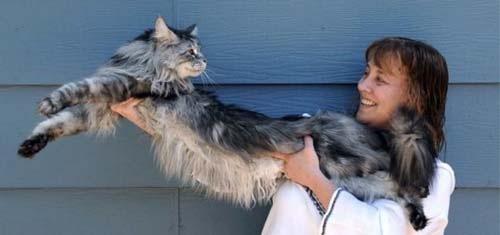 Знакомитесь, это меин кун Стьюи, самая длинная в мире домашняя кошка...