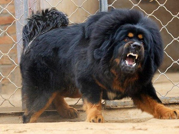 Тибетский мастиф.  Некоторые считают их прародителями всех собак.