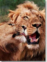 Сексуальный лев