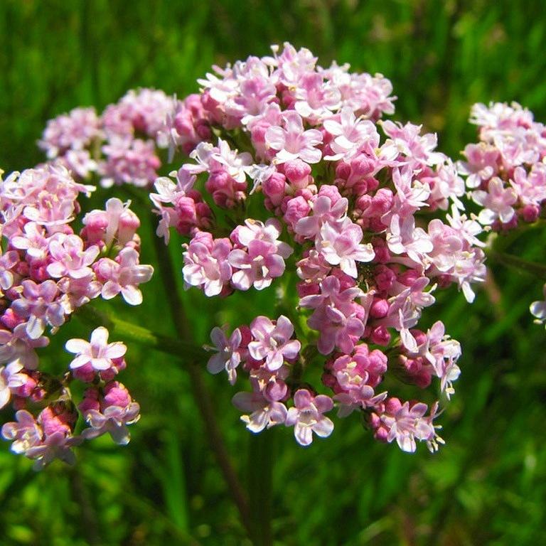 Валериана – растение духа