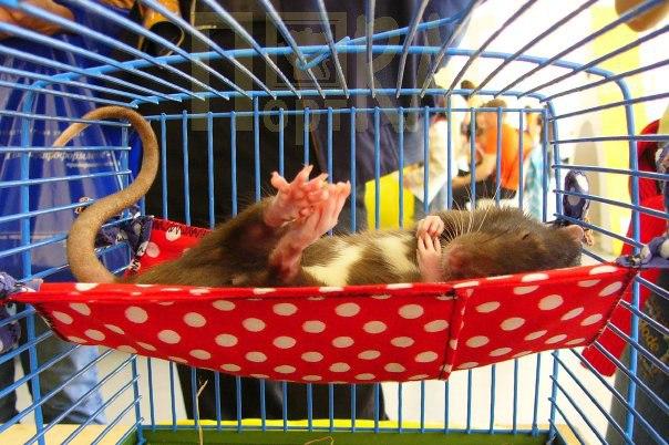 Чем усыпляют крыс в домашних условиях 984