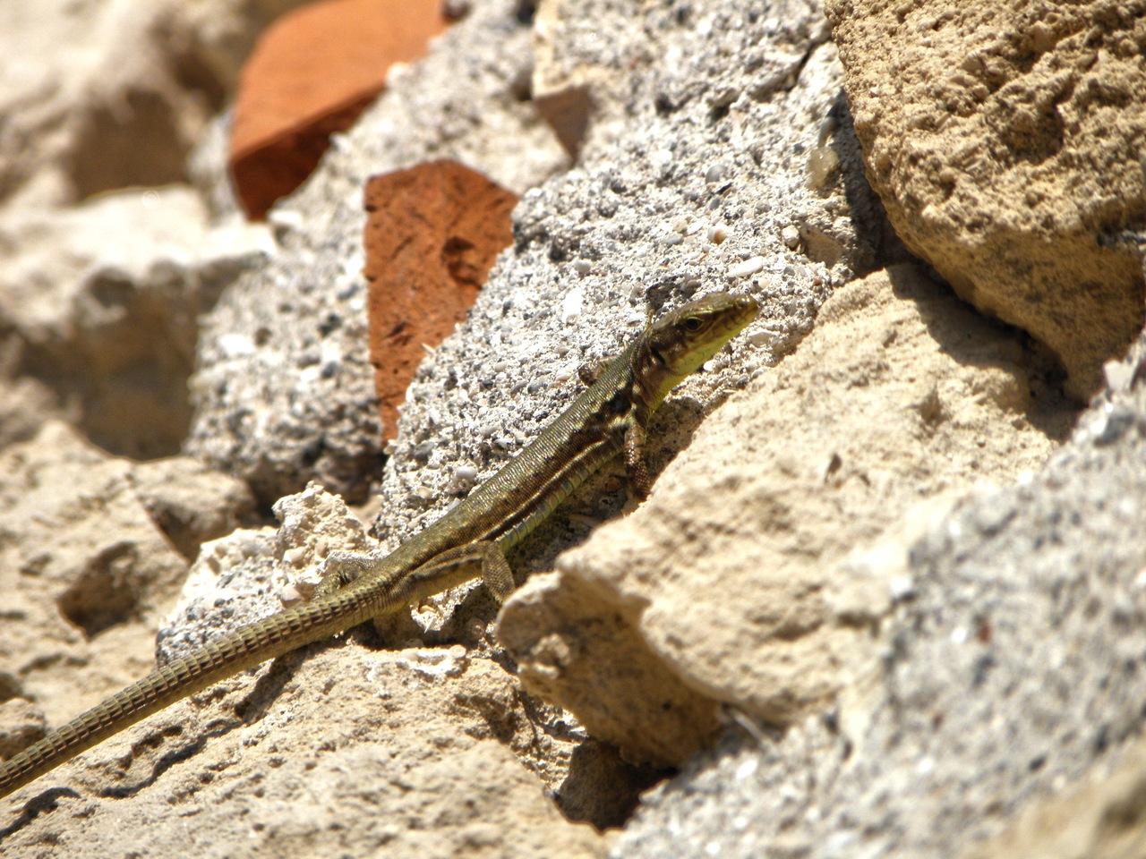 lizardagain