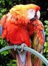 """Предпросмотр - Схема вышивки  """"Попугай ара """" - Схемы автора  """"nsherbatih """" - Вышивка крестом."""