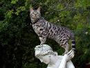 Кошка или леопард?  Бенгальские кошки до сих пор редкость, особенно в...