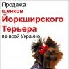 Йоркширский терьер. Питомник. Продажа щенков по всей Украине.