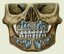 Рис. 2 Зубы.  Изображение расположения молочных зубов и зачатков постоянных зубов в челюсти ребенка (схема) .