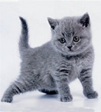 Питомник британских кошек Москвы предлагает котят породы британская...
