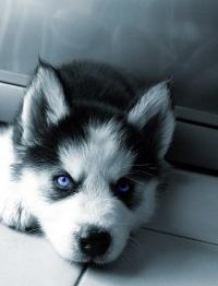 фото хаски с разными глазами щенки