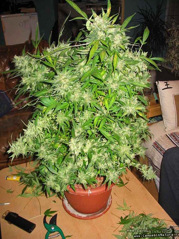 Когда можно собрать с куста конопли медицинская марихуана при сахарном диабете