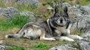...СПб) пропал метис лайки по кличке гром очень похож на волка особая...