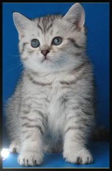 Фотографии Роскошные серебристые британские котята из питомника Daryacats.