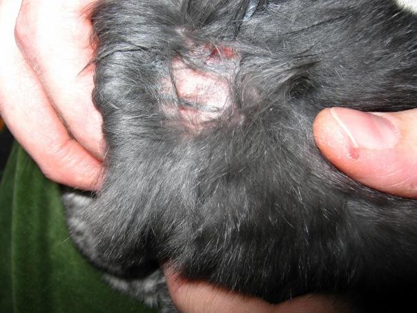 Раны на коже кроликов