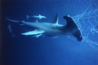 ...обонянием обладает молотоголовая акула.