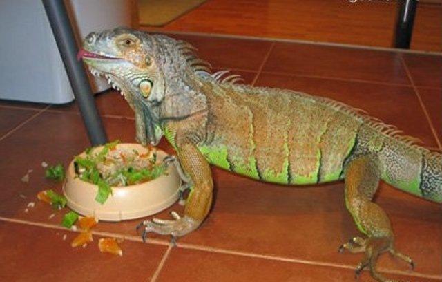 Как кормить ящерицу обыкновенную в домашних условиях