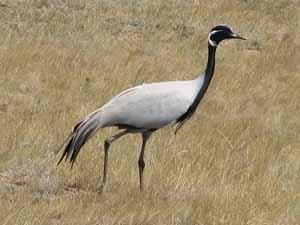 Внешний вид.  Самая обычная из крупных хищных птиц средней полосы.
